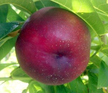 Early Bomba®           - Nectarines