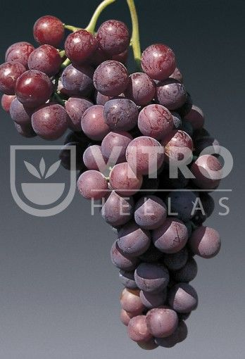 Саженцы винных сортов винограда