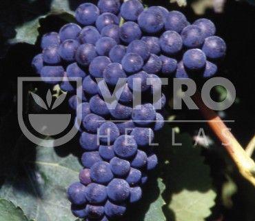 Aglianico N - Ποικιλίες Αμπέλου
