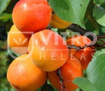 Mediva - Βερικοκιές