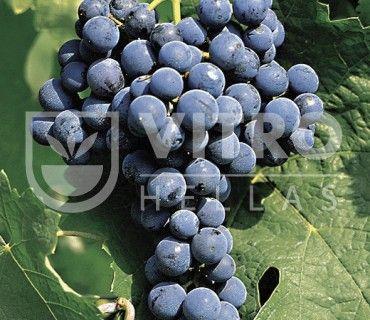 Cabernet Franc N - Ποικιλίες Αμπέλου