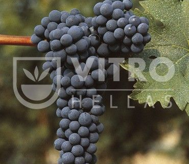 Cabernet Sauvignon N - Ποικιλίες Αμπέλου