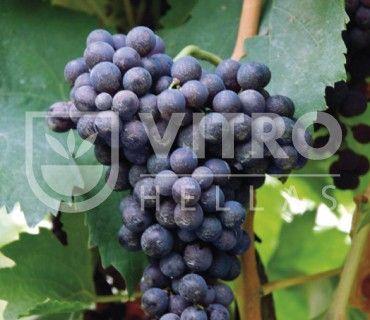 Carignano N - Ποικιλίες Αμπέλου