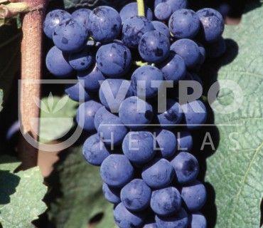 Carmenere N - Ποικιλίες Αμπέλου