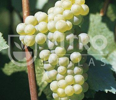 Chardonnay B - Ποικιλίες Αμπέλου