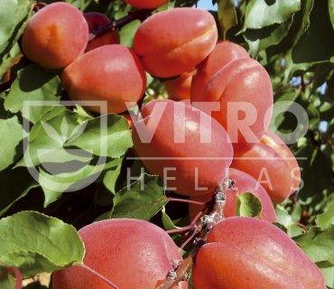 Farbela - Βερικοκιές