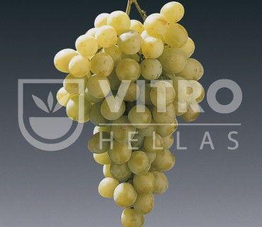Italia B - Ποικιλίες Αμπέλου