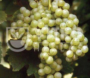 Malvasia Candia B - Ποικιλίες Αμπέλου