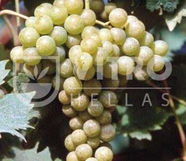 Malvasia Aromatica B - Ποικιλίες Αμπέλου