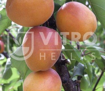 Medflo - Βερικοκιές