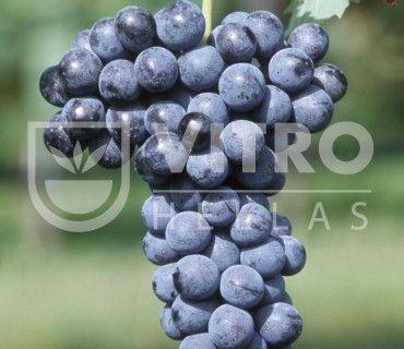 Merlot N - Ποικιλίες Αμπέλου