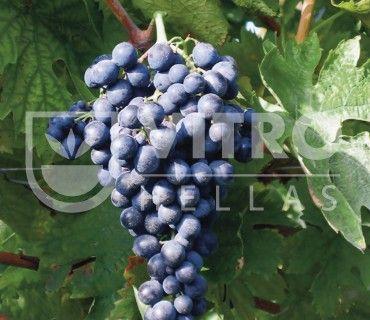 Montepulciano N - Ποικιλίες Αμπέλου