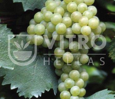 Moscato Bianco B - Ποικιλίες Αμπέλου