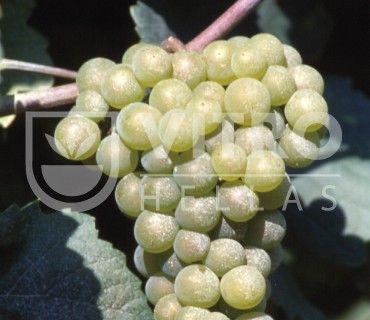 Pinot Bianco B - Ποικιλίες Αμπέλου