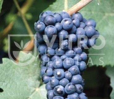 Pinot Nero N - Ποικιλίες Αμπέλου