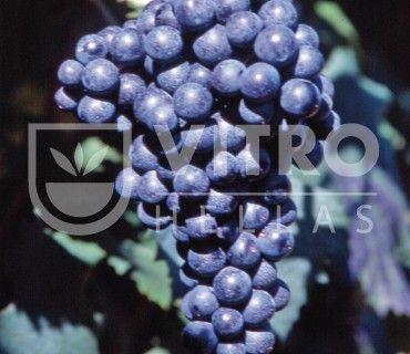 Refosco dal Penduncolo Rosso N - Ποικιλίες Αμπέλου