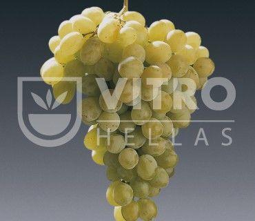 Regina B (Razaki B) - Саженцы столовых сортов винограда