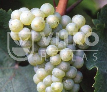 Riesling Bianco B - Ποικιλίες Αμπέλου