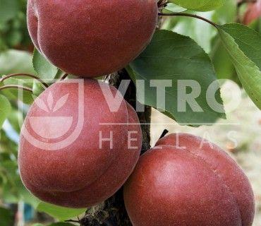 Rubissia - Βερικοκιές