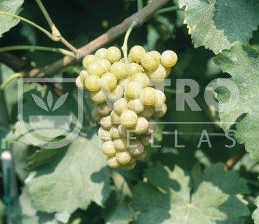 Semillon B - Ποικιλίες Αμπέλου