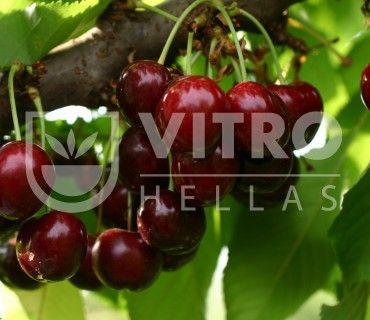 Sweet Saretta - Κερασιές