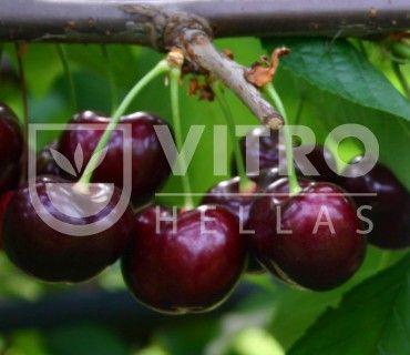 Sweet Stephany - Κερασιές