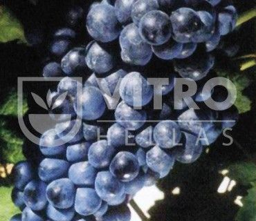 Tannat N - Ποικιλίες Αμπέλου