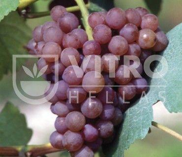 Traminer Aromatico B - Ποικιλίες Αμπέλου