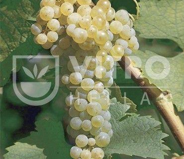 Trebbiano Toscano B (Ugni Blanc B) - Ποικιλίες Αμπέλου