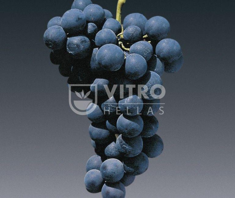 Alphonse Lavalle N - Саженцы столовых сортов винограда