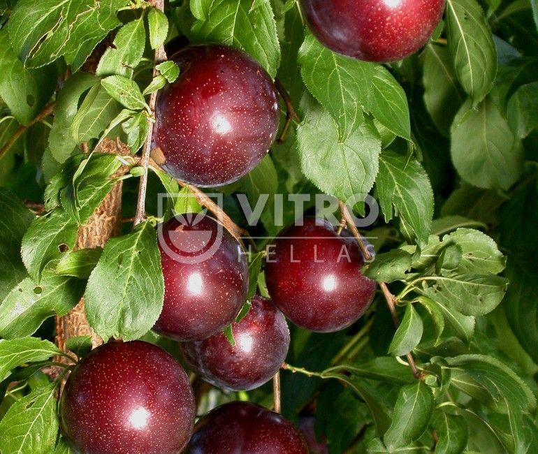 Crimson Glo - Δαμασκηνιές