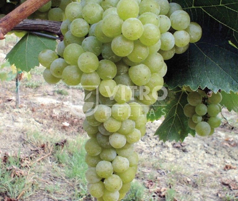 Moscato Alexandrie B (Zibbibo B) - Ποικιλίες Αμπέλου