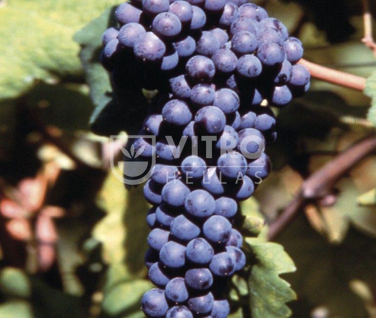 Nebbiolo N - Ποικιλίες Αμπέλου