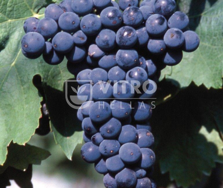 Negro Amaro N - Ποικιλίες Αμπέλου
