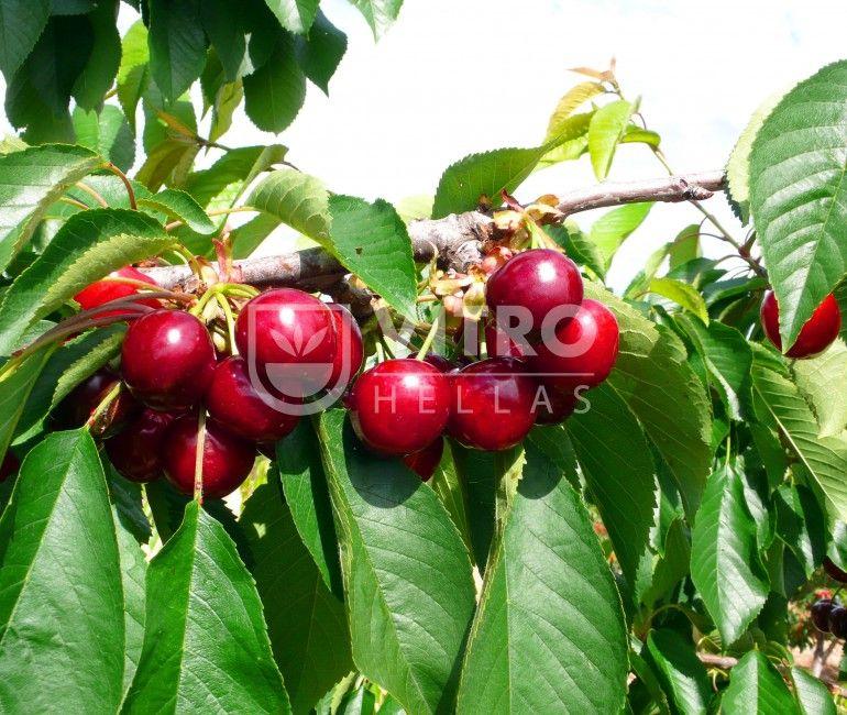 Nimba - Κερασιές