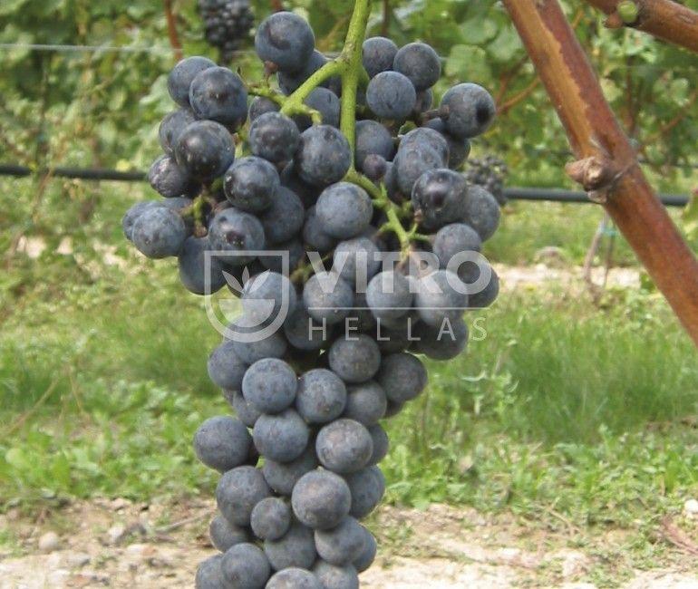 Petit Verdot N - Ποικιλίες Αμπέλου
