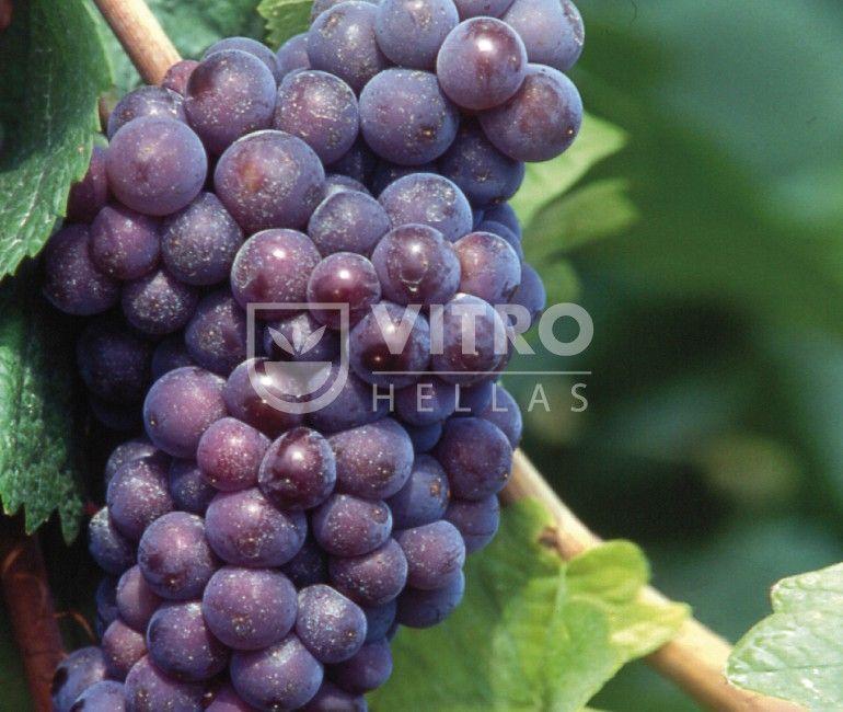 Pinot Grigio R - Ποικιλίες Αμπέλου