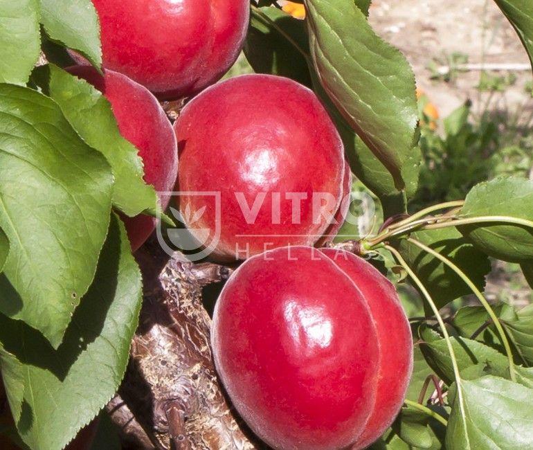 Rubely - Βερικοκιές
