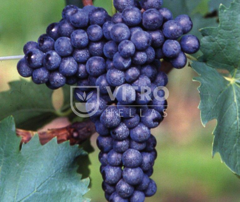 Sangiovese N - Ποικιλίες Αμπέλου