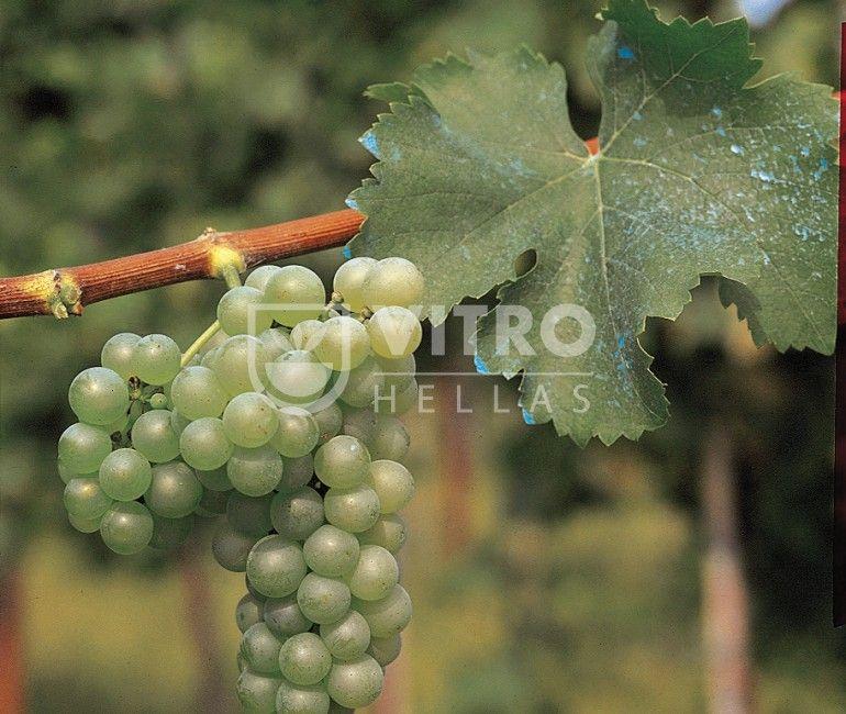 Sauvignon Blanc B - Ποικιλίες Αμπέλου