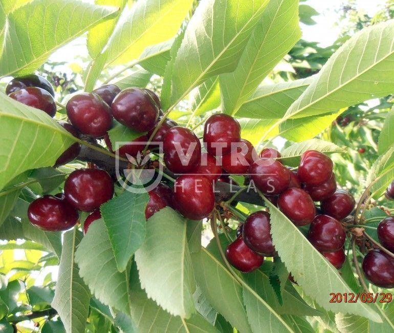 Sweet Lorenz - Κερασιές