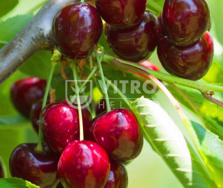 Sweet Valina - Κερασιές