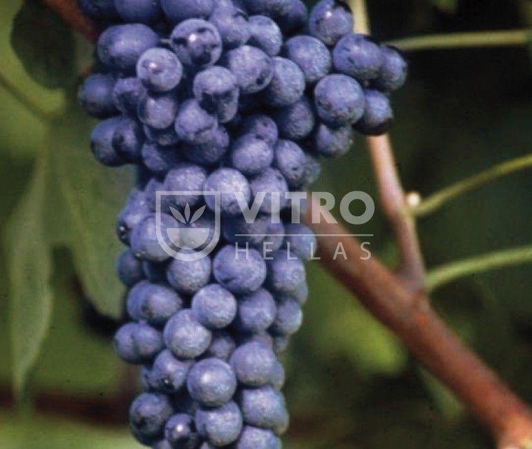 Syrah N - Ποικιλίες Αμπέλου