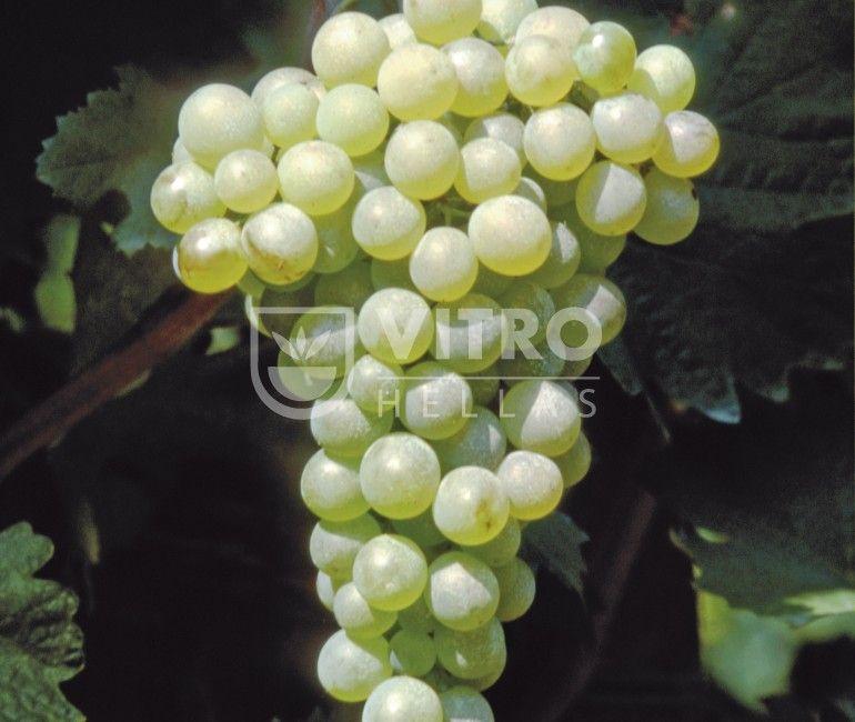 Vermentino B - Ποικιλίες Αμπέλου