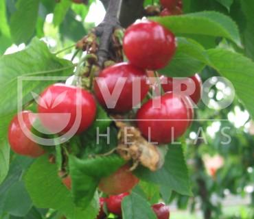 Early Bigi®  - Cherries