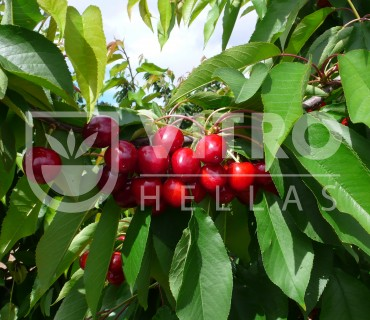 Pacific Red® - Cherries