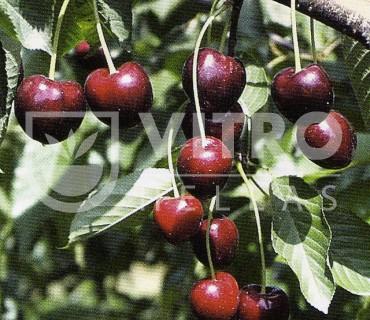 Regina - Cherries