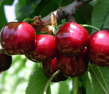 Sweet Early – Panaro 1®           - Cherries
