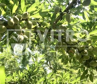 Πυκνές φυτεύσεις και καινοτόμα σχημάτα, για πιο κερδοφόρα καλλιέργεια Αμυγδάλου